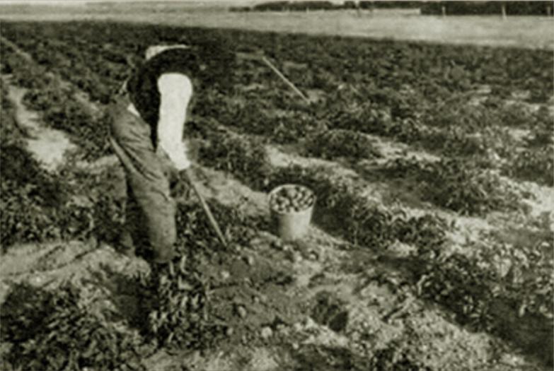1900's Rise of the Potato