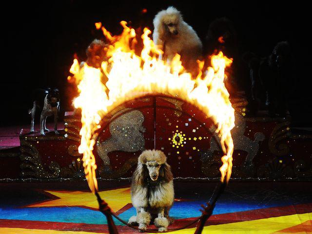 The Dominguez Poodles 1