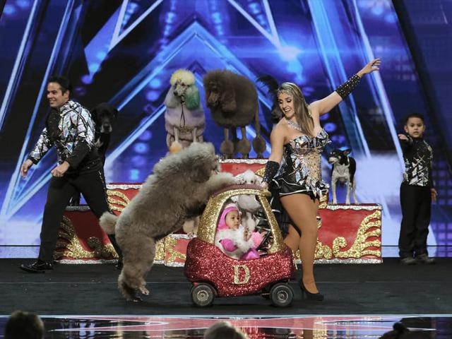 The Dominguez Poodles 4
